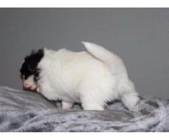 Продам щенка папийона