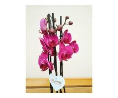 Орхідея. Фаленопсіс на 3 стовбури - Фото 1/4