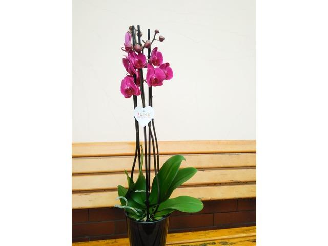 Орхідея. Фаленопсіс на 3 стовбури - 2/4