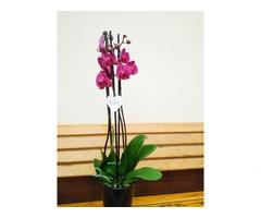 Орхідея. Фаленопсіс на 3 стовбури - Фото 2/4