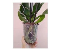Орхідея. Фаленопсіс на 3 стовбури - Фото 3/4