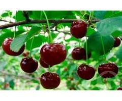 Продаю вишни