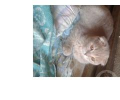 котята шотландки