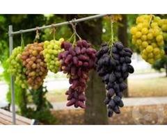 Посадковий матеріал винограду