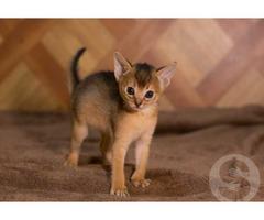 Абиссинские котята от титулованных родителей