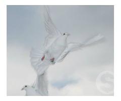 Белые спортивные голуби